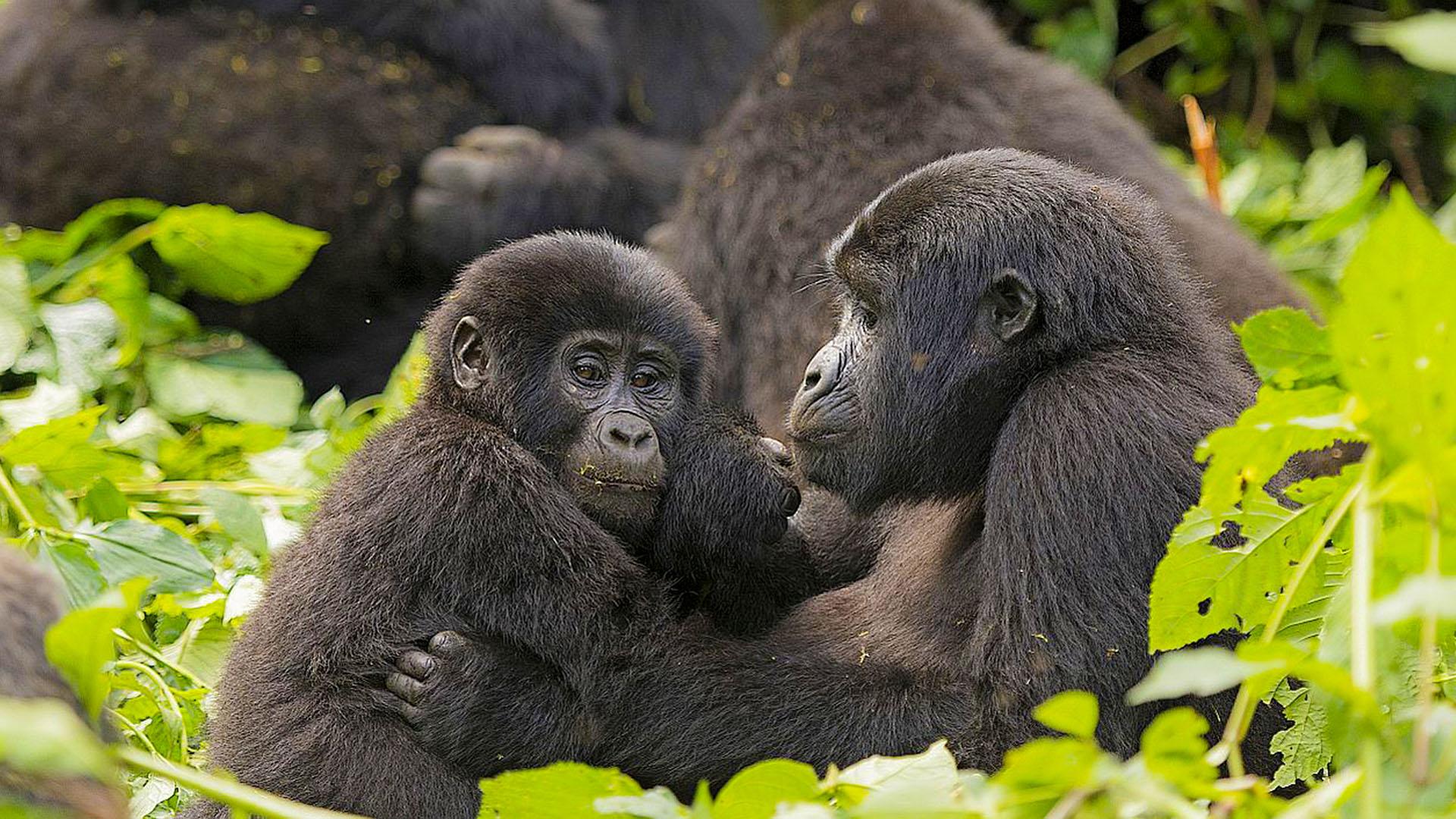 Guide to Mountain Gorilla Trekking