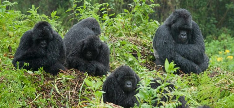 Best Country to See Gorillas