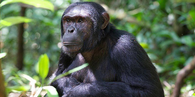 Great Apes of Uganda Safari