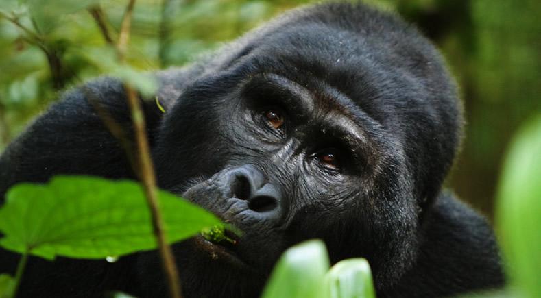 Gorilla Chimpanzee Tracking Safari